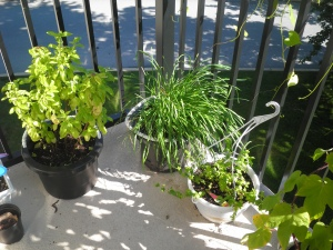 tomatoes (far left), basil, chives, peppermint